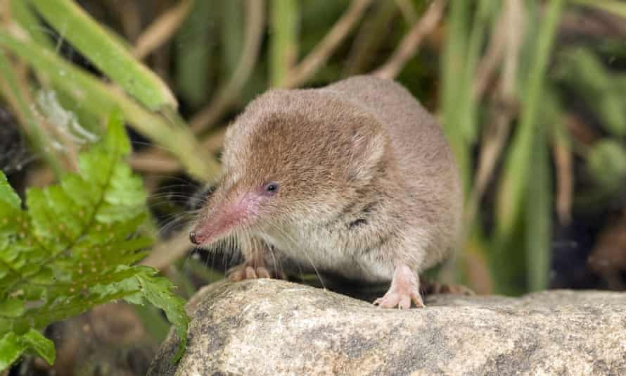 Common shrew (Sorex araneus) – the shrew's brain shrinks significantly in winter.
