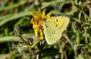 beautiful yellow butterfly in the sun