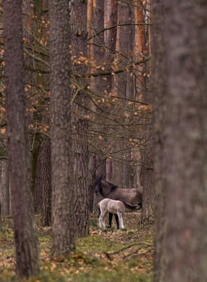 Polish primitive horses (or the Polish Konik) on a paddock at the Roztocze National Park in Zwierzyniec, southeastern Poland. A Polish primitive horse is a pony breed from Poland that lives semi-feral in some regions