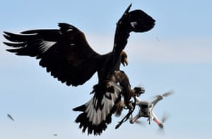 A golden eagle catches a drone