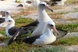 """Wisdom, a Laysan albatross, is the world's oldest tracked bird. At 64, <a href=""""http://www.theguardian.com/environment/2015/nov/30/worlds-oldest-tracked-bird-wisdom-laysan-albatross-midway-atoll"""">it has returned to Midway Atoll</a>, the world's largest nesting albatross colony, in Hawaii, to lay egg."""