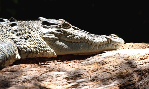 Man prises crocodile jaws from his head while swimming in suburban Cairns
