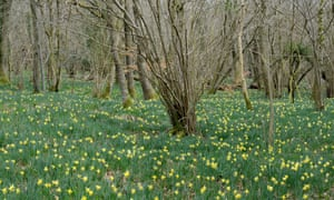 Wild daffodil (Narcissus pseudonarcissus) growing in hazel coppiced woodland. West Dean Woods, Sussex.