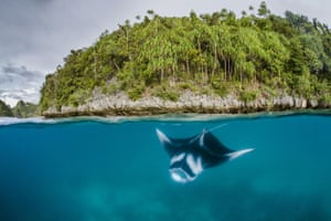A manta ray swims in the waters of Raja Ampat in eastern Indonesia's remote Papua province.