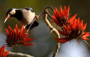 A mynah bird sips nectar from seasonal flowers in Amsoi reserve forest in Nagaon district, Assam, India