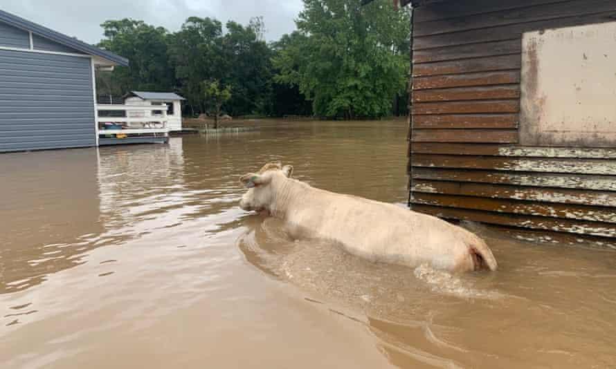 Cattle in flood