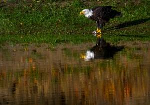 The morning sun warms a bald eagle as it feeds along the Umpqua River near Elkton in rural western Oregon