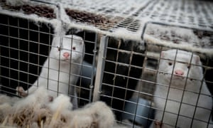Mink are seen at a farm in Denmark, 6 November 2020.