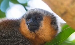 A titi monkey (genus Callicebus) in Sawré Muybu, home to the indigenous Munduruku people.