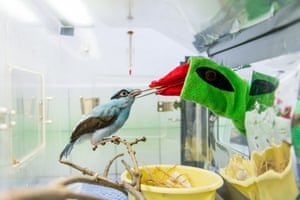 A keeper uses a puppet to feed a 43-days-old Javan green magpie at Prague Zoo