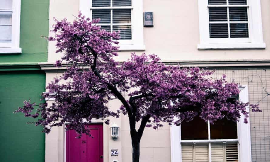 Cherry blossom in west London's Notting Hill