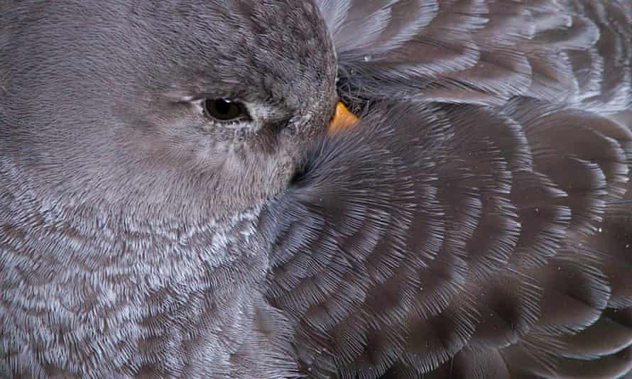 Purple sandpiper with bill tucked into wing