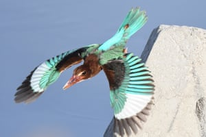 Kuwait: A white-throated kingfisher flies over waters in Kuwait City