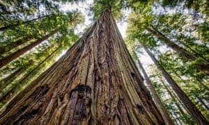 California is well known for its redwood trees. The death has been described as a 'very rare' incident.