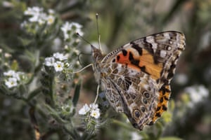 Painted Lady butterflies pause to feed on the nectar of California's super bloom during a rare mass migration triggered by the recent abundant rainfall