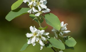 Chic choice: Amelanchier Alnifolia 'Obelisk' lovely green and white leaves and flowers.