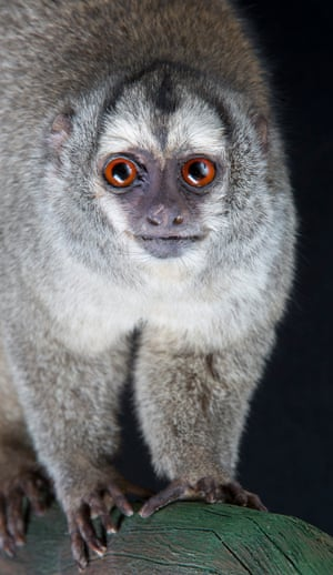 Grey-legged douroucouli – vulnerableNocturnal Douroucoulis have big eyes to trap maximum light, but can't see colour. The retina of their eyes have only rod receptor cells that detect dim black-and-white light.
