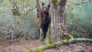 A brown bear has been spotted traversing a rugged and sparsely populated area of north-west Spain for the first time in 150 years. Images of the animal were captured on cameras set up by a crew shooting the film Montana ou Morte (Mountain or Death) in the O Invernadeiro national park in Galicia's Ourense province.