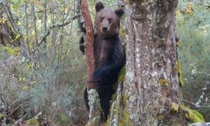 A brown bear caught on camera traps for the documentary Montaña ou Morte