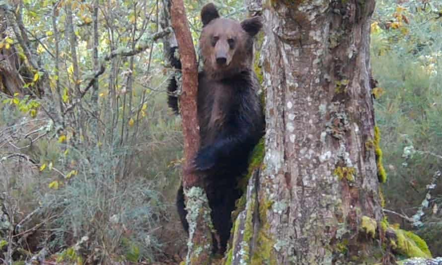 A brown bear caught on camera traps for the documentary Montaña ou Morte