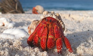 Hermit crabs use certain molecules to track down new shells. With changes to ocean pH, their ability to do this is is compromised.