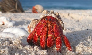 Hermit crabs require larger scavenged shells as they grow.