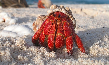 A hermit crab emerging from its shell.