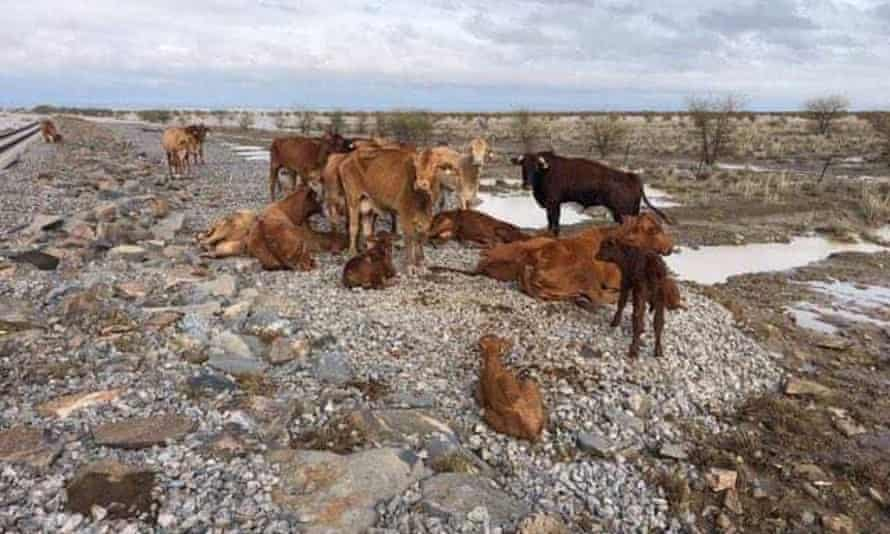 Dead cattle at Eddington station, 20km west of Julia Creek, Queensland