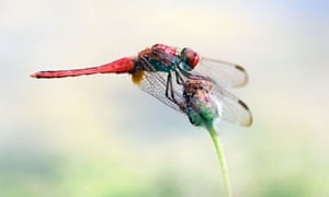 Dragonflies migrate up to 11,000 miles a year.