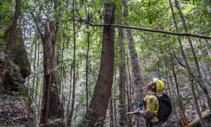 A firefighter looking up at Wollemi pines