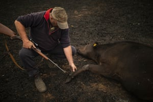 Steve Shipton inspects the burns on a calf he has just put down in his paddock.