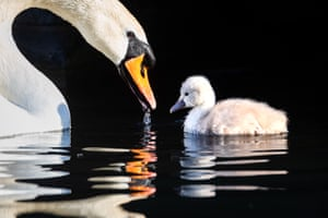 A swan and its cygnet swim in a canal during sunny weather in Wapping, London.