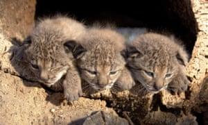 Trio of Iberian lynx cubs