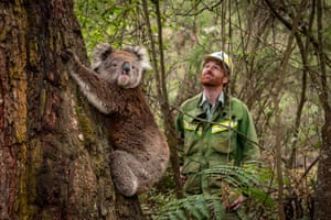 Forest and wildlife officer Lachlan Clarke watches as the koala assess her new habitat.