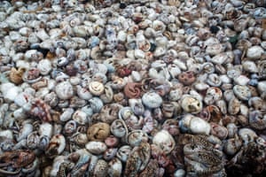 Approximately 4,000 pangolins defrosting after their seizure, hidden inside a shipping container at a port in Sumatra, Indonesia
