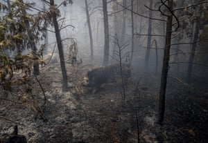 A hog runs through a wooded area of Grizzly Flats that has been reduced to ashes.