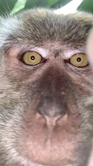 Batu Pahat, Malaysia A monkey takes a selfie in the southern state of Johor. A Malaysian student whose cellphone was stolen while he was sleeping has tracked down the culprit: a monkey who took photo and video selfies with the device before abandoning it