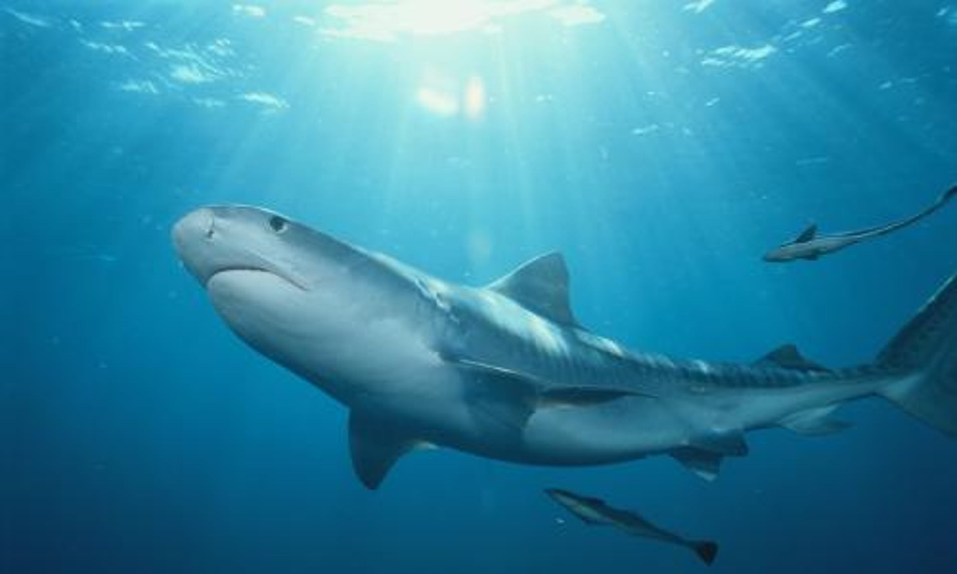 Tiger Sharks Attacking Humans