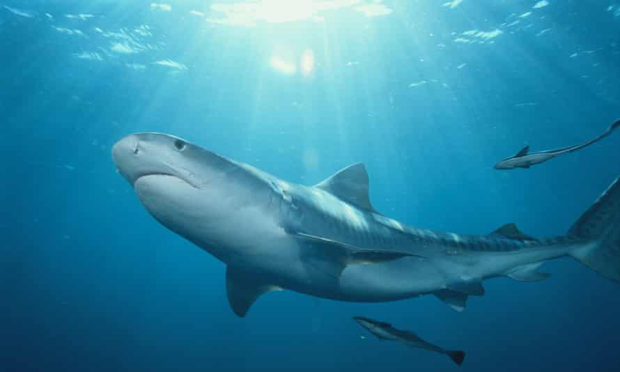 The man was clinging to a life buoy and was seconds from rescue when the shark attacked. It is not known what species of shark was responsible for the attack, but tiger sharks are common in Caribbean waters.