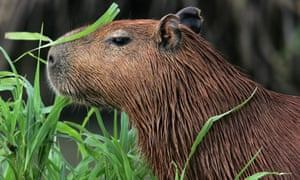 Capybaras are the world's largest rodents and can weight as much as 150lbs.