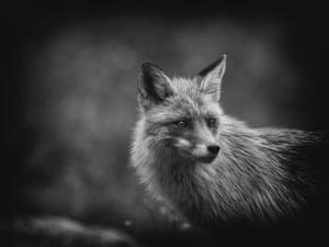 Nature on My Doorstep, finalist Elish the Fox by Jaroslav Vyhnicka, taken in Bilik's Cottage, Slovakia
