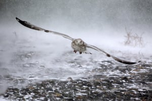 Hull, Massachusetts, USA seagull takes flight in high winds as a massive winter storm begins to bear down.