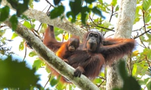 Female orangutans are occasionally killed for their young, which are sold on as pets, while others are killed for food or for venturing onto plantations or into gardens.
