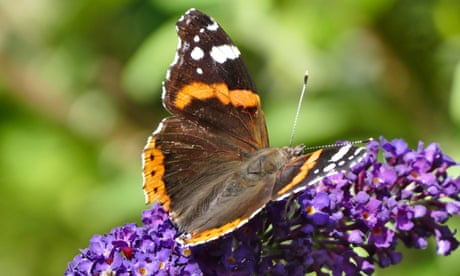 A red admiral on a buddleia