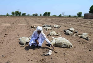 An Indian migrant shepherd kneels down among his dead sheep at a field in Ranagadh village, Surendranagar district