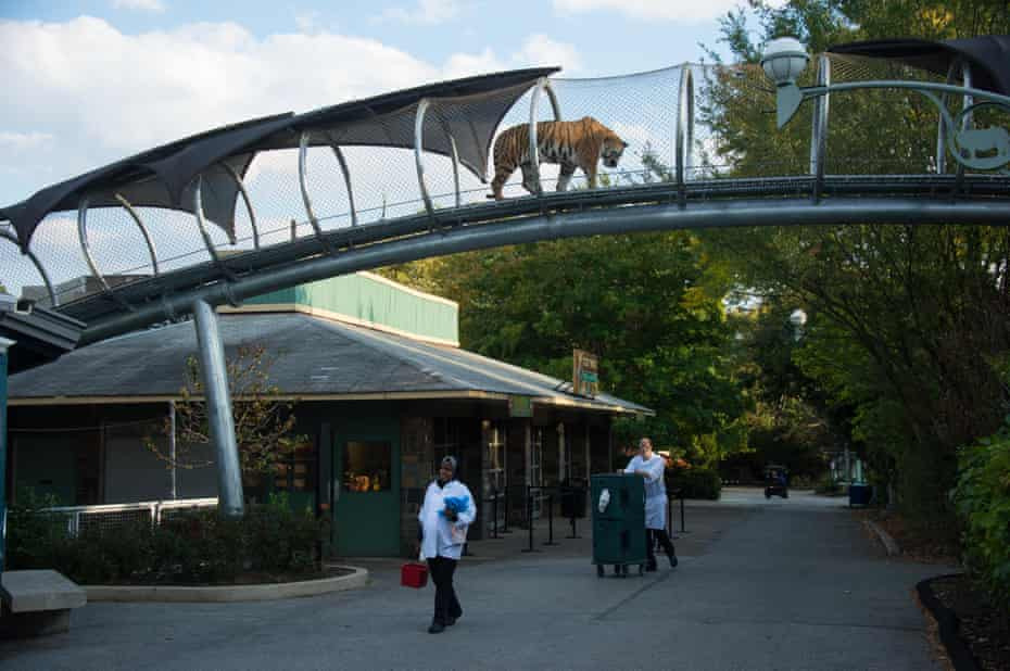 Tiger overhead … Philadelphia zoo's Big Cat Crossing.