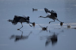 Migrating cranes reflected in the waters of the Hula Lake conservation area, north of the Sea of Galilee, in northern Israel. More than half a billion birds of about 400 different species pass through the Jordan Valley to Africa and go back to Europe during the year.
