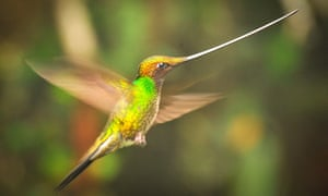 A sword-billed Hummingbird in the Ecuadorian cloud forest, as seen on Planet Earth II.