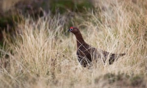 A red grouse