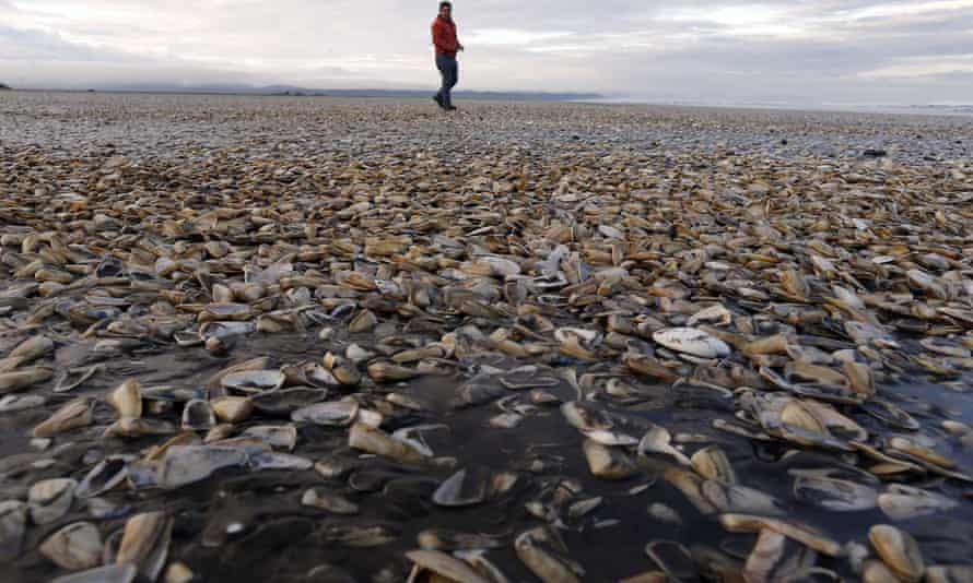 Thousands of bivalves of the species Mesodesma donacium washed up dead in the Cucao beach in the island of Chiloe.